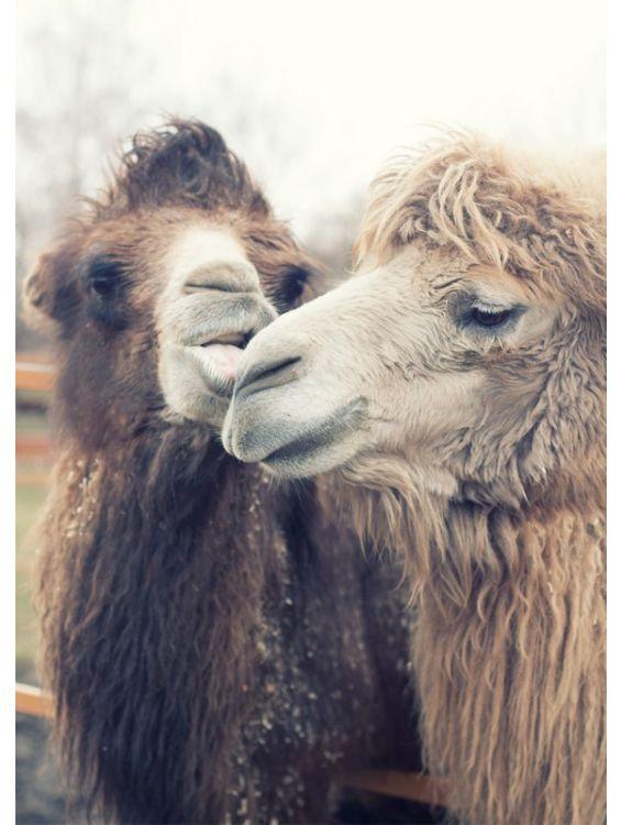 Открытка - Верблюды №1233