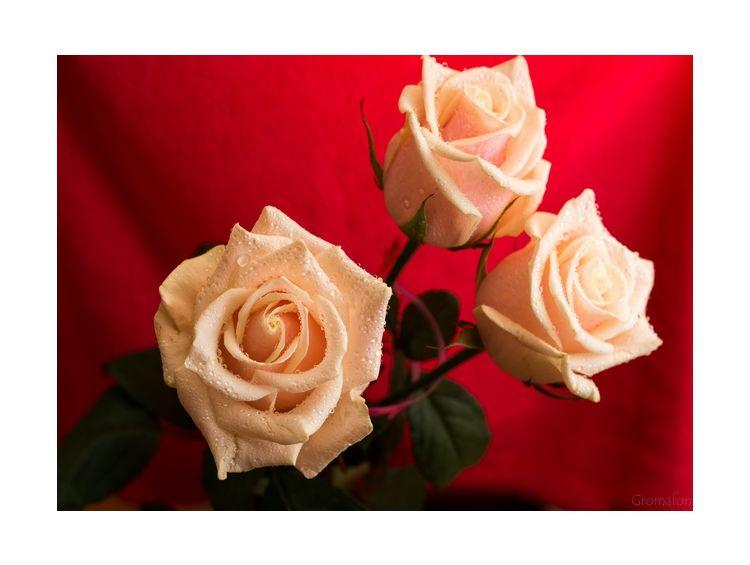 Открытка роза для розы