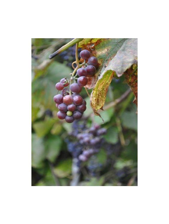 Открытка - Grape №1108
