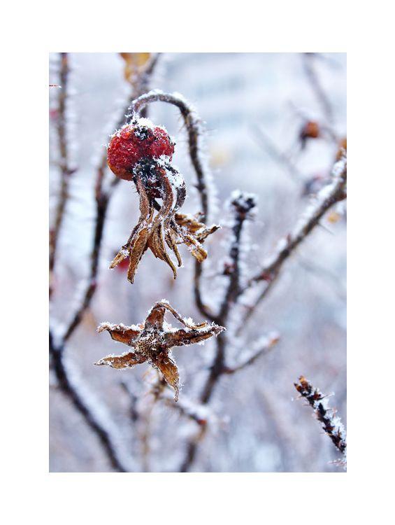 Открытка - Зимняя роза №1127