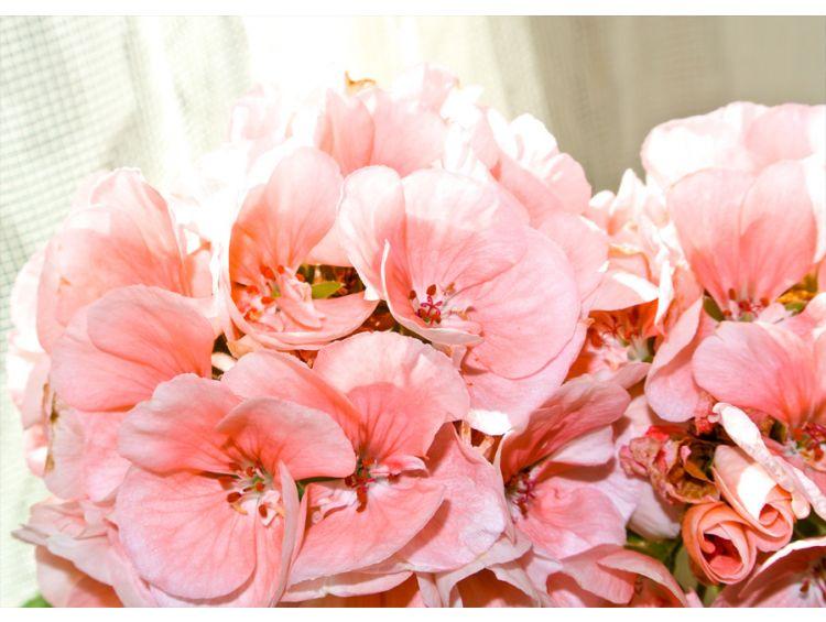 Открытка - Розовая прелесть №1177