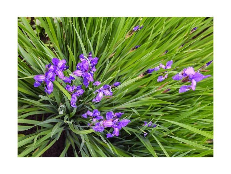 Открытка - Сиреневый цветок №980