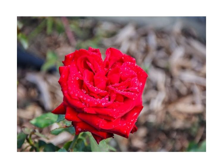 Открытка - Красная роза №964