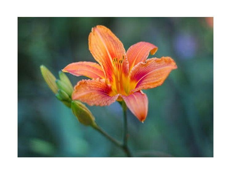 Открытка - Оранжевая лилия №946