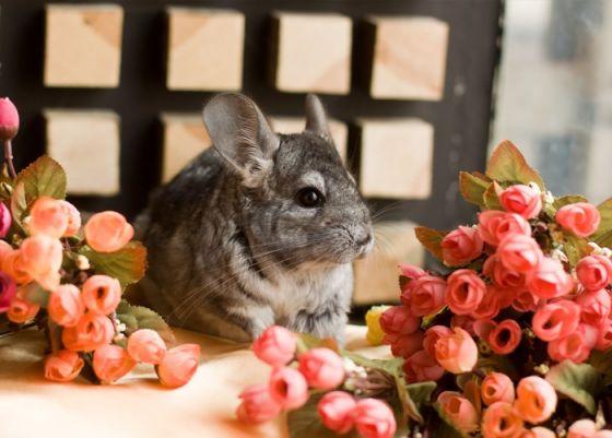 Открытка - Шиншилла и цветы №1342